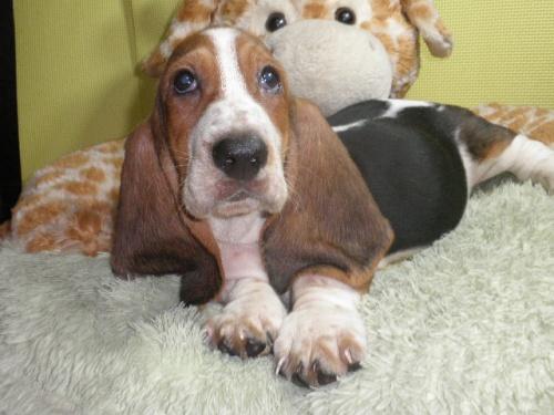 バセットハウンドの子犬(ID:1230911118)の3枚目の写真/更新日:2018-08-09