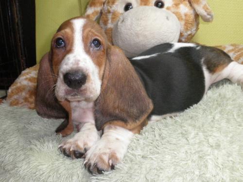 バセットハウンドの子犬(ID:1230911118)の4枚目の写真/更新日:2018-08-09