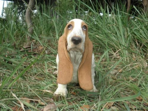 バセットハウンドの子犬(ID:1230911119)の1枚目の写真/更新日:2018-08-09