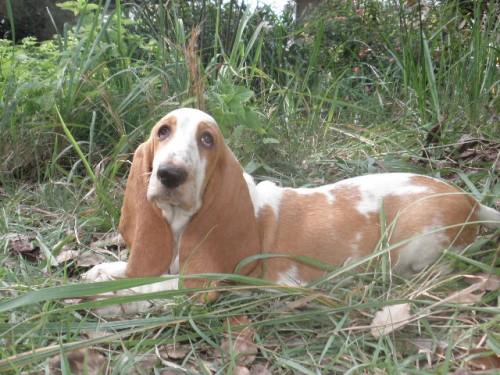 バセットハウンドの子犬(ID:1230911119)の4枚目の写真/更新日:2018-08-09