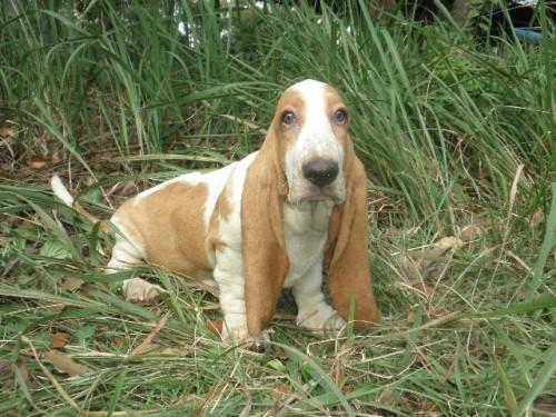 バセットハウンドの子犬(ID:1230911121)の1枚目の写真/更新日:2018-08-09