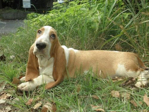 バセットハウンドの子犬(ID:1230911121)の4枚目の写真/更新日:2018-08-09