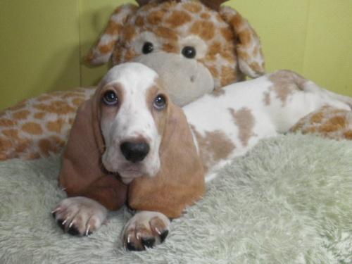 バセットハウンドの子犬(ID:1230911122)の3枚目の写真/更新日:2018-08-09