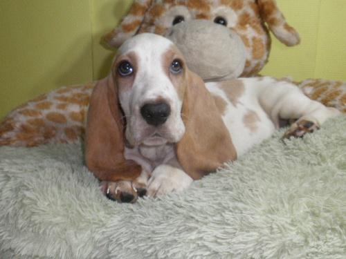 バセットハウンドの子犬(ID:1230911122)の4枚目の写真/更新日:2018-08-09