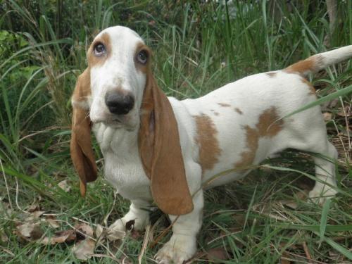 バセットハウンドの子犬(ID:1230911123)の1枚目の写真/更新日:2018-08-09