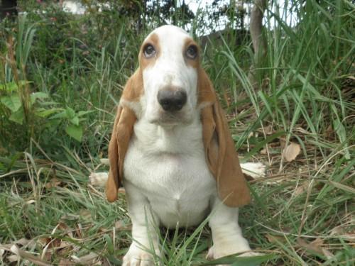 バセットハウンドの子犬(ID:1230911123)の2枚目の写真/更新日:2018-08-09