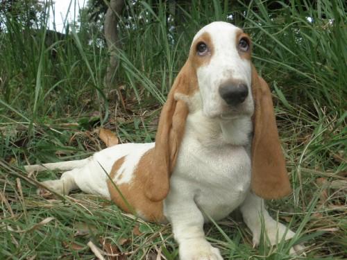 バセットハウンドの子犬(ID:1230911123)の3枚目の写真/更新日:2018-08-09