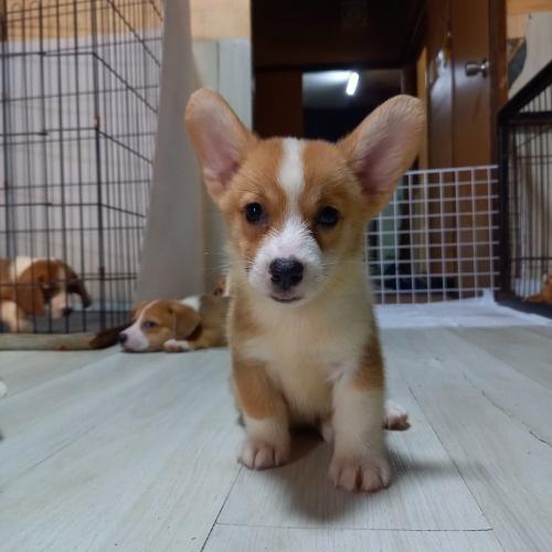 ウェルシュ・コーギー・ペンブロークの子犬(ID:1230911137)の1枚目の写真/更新日:2020-07-02