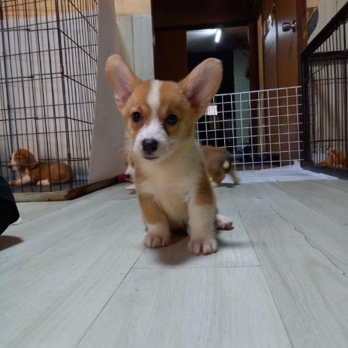 ウェルシュ・コーギー・ペンブロークの子犬(ID:1230911137)の2枚目の写真/更新日:2020-07-02