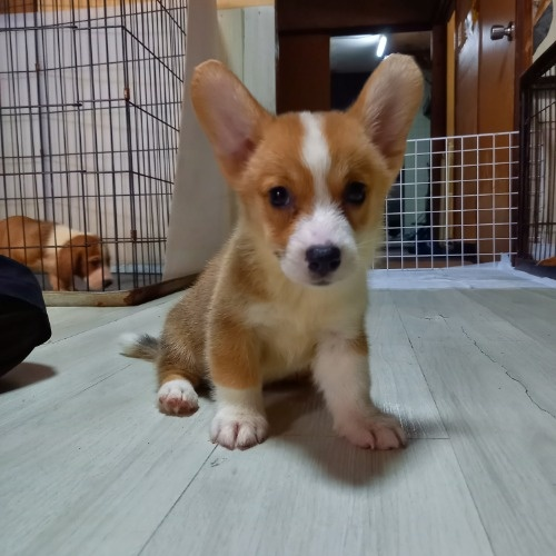 ウェルシュ・コーギー・ペンブロークの子犬(ID:1230911137)の3枚目の写真/更新日:2020-07-02