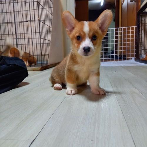 ウェルシュ・コーギー・ペンブロークの子犬(ID:1230911137)の4枚目の写真/更新日:2020-07-02