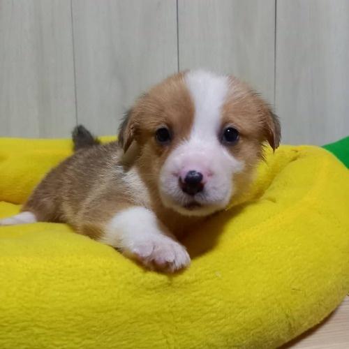 ウェルシュ・コーギー・ペンブロークの子犬(ID:1230911138)の1枚目の写真/更新日:2020-07-09