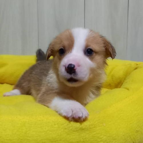 ウェルシュ・コーギー・ペンブロークの子犬(ID:1230911138)の2枚目の写真/更新日:2020-07-09