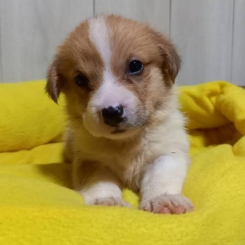ウェルシュ・コーギー・ペンブロークの子犬(ID:1230911139)の2枚目の写真/更新日:2020-07-10