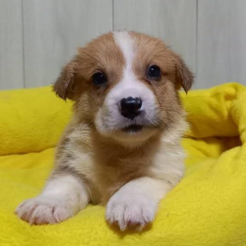 ウェルシュ・コーギー・ペンブロークの子犬(ID:1230911139)の4枚目の写真/更新日:2020-07-10