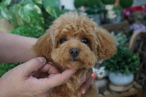 トイプードルの子犬(ID:1231011235)の1枚目の写真/更新日:2016-12-29