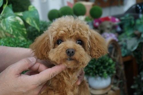 トイプードルの子犬(ID:1231011235)の2枚目の写真/更新日:2016-12-29