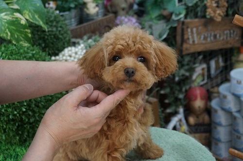 トイプードルの子犬(ID:1231011235)の3枚目の写真/更新日:2016-12-29