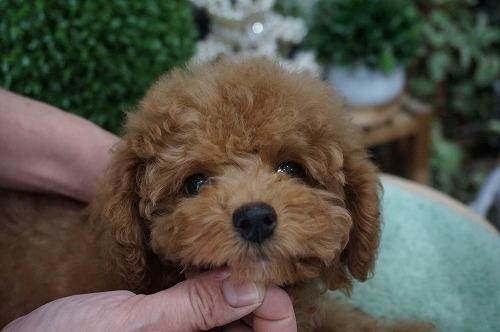 トイプードルの子犬(ID:1231011236)の1枚目の写真/更新日:2016-12-29