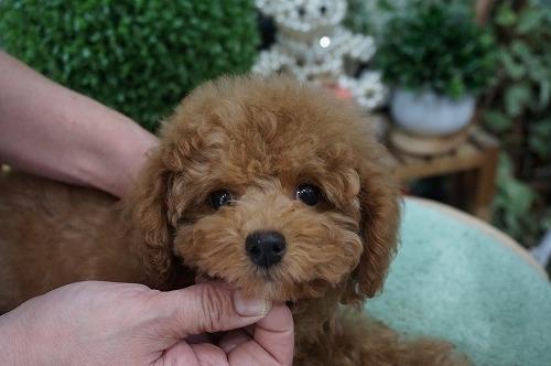 トイプードルの子犬(ID:1231011236)の3枚目の写真/更新日:2016-12-29