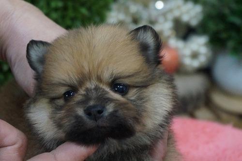 ポメラニアンの子犬(ID:1231011249)の1枚目の写真/更新日:2017-02-04