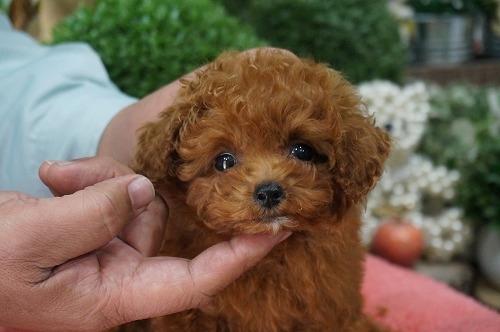 トイプードルの子犬(ID:1231011251)の1枚目の写真/更新日:2017-02-22