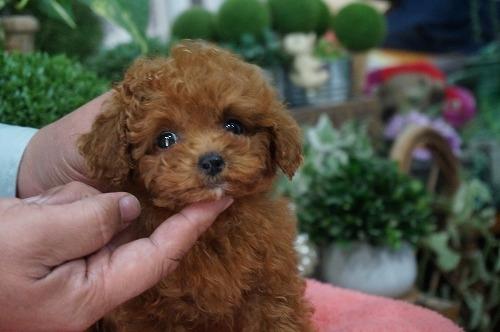 トイプードルの子犬(ID:1231011251)の2枚目の写真/更新日:2017-02-22