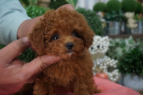 トイプードルの子犬(ID:1231011251)の3枚目の写真/更新日:2017-02-22