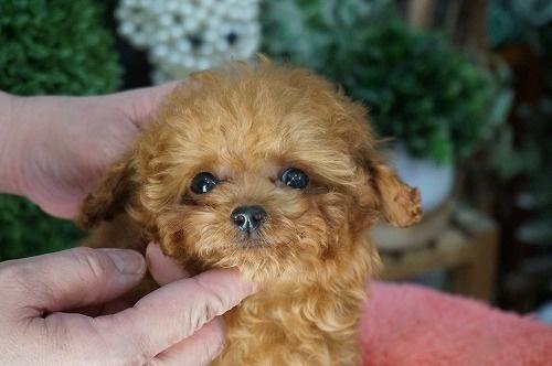 トイプードルの子犬(ID:1231011252)の1枚目の写真/更新日:2017-03-09