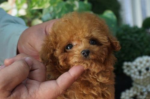 トイプードルの子犬(ID:1231011252)の2枚目の写真/更新日:2017-03-09