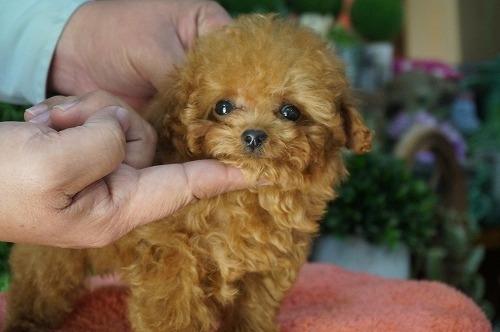 トイプードルの子犬(ID:1231011252)の3枚目の写真/更新日:2017-03-09