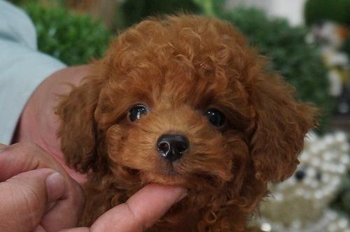 トイプードルの子犬(ID:1231011253)の1枚目の写真/更新日:2017-02-23