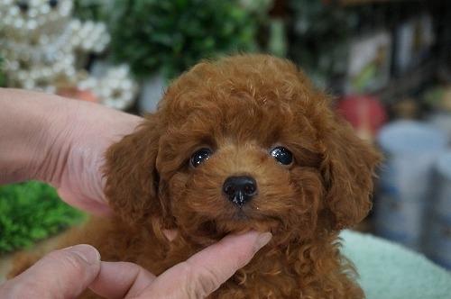 トイプードルの子犬(ID:1231011253)の3枚目の写真/更新日:2017-02-23