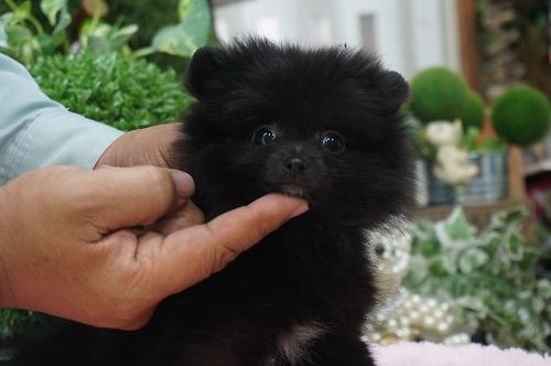 ポメラニアンの子犬(ID:1231011255)の1枚目の写真/更新日:2017-03-07