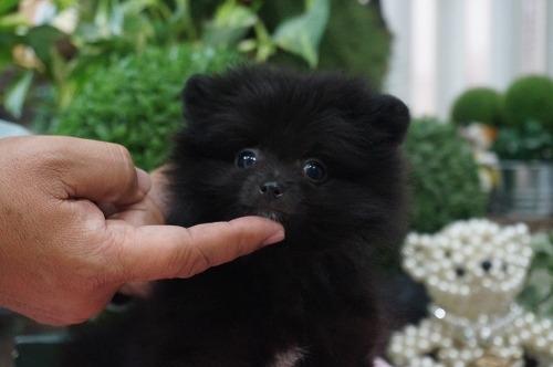 ポメラニアンの子犬(ID:1231011255)の2枚目の写真/更新日:2017-03-07