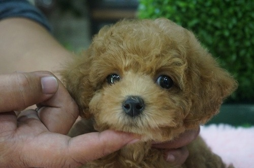 トイプードルの子犬(ID:1231011257)の1枚目の写真/更新日:2017-04-07