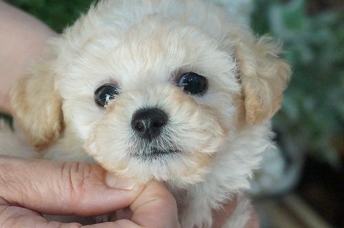 トイプードルの子犬(ID:1231011259)の1枚目の写真/更新日:2017-04-14