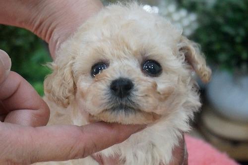 トイプードルの子犬(ID:1231011260)の1枚目の写真/更新日:2017-04-07