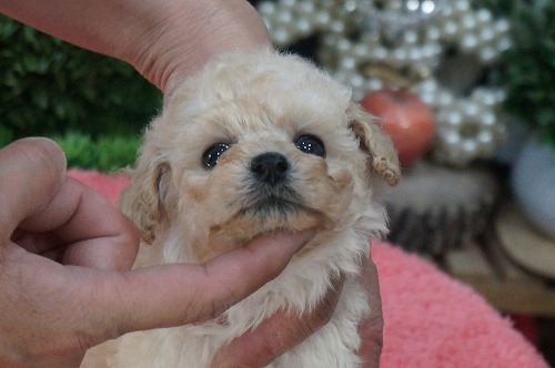 トイプードルの子犬(ID:1231011260)の3枚目の写真/更新日:2017-04-07