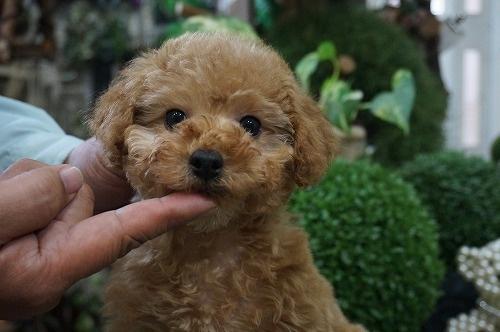 トイプードルの子犬(ID:1231011261)の1枚目の写真/更新日:2017-04-12