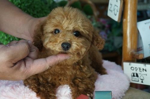 トイプードルの子犬(ID:1231011262)の1枚目の写真/更新日:2017-04-26