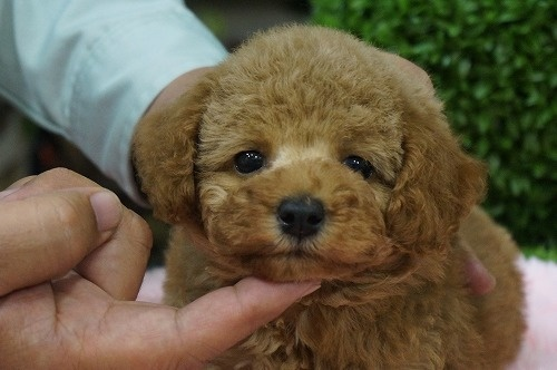 トイプードルの子犬(ID:1231011263)の1枚目の写真/更新日:2017-04-21