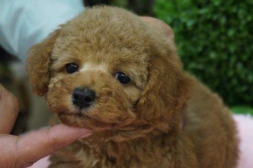 トイプードルの子犬(ID:1231011263)の2枚目の写真/更新日:2017-04-21