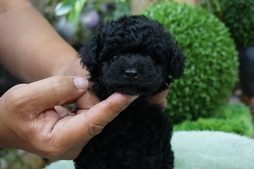 トイプードルの子犬(ID:1231011264)の2枚目の写真/更新日:2017-05-24