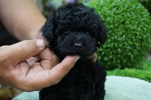 トイプードルの子犬(ID:1231011264)の3枚目の写真/更新日:2017-05-24