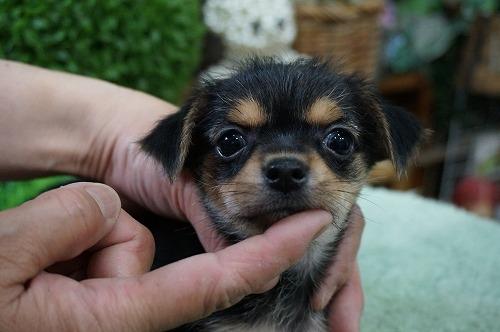 ミックスの子犬(ID:1231011265)の1枚目の写真/更新日:2017-05-24