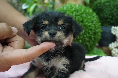 ミックスの子犬(ID:1231011266)の1枚目の写真/更新日:2017-05-25