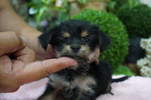 ミックスの子犬(ID:1231011266)の2枚目の写真/更新日:2017-05-25