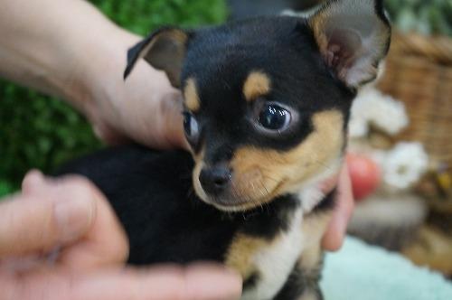 チワワ(スムース)の子犬(ID:1231011268)の3枚目の写真/更新日:2017-06-08