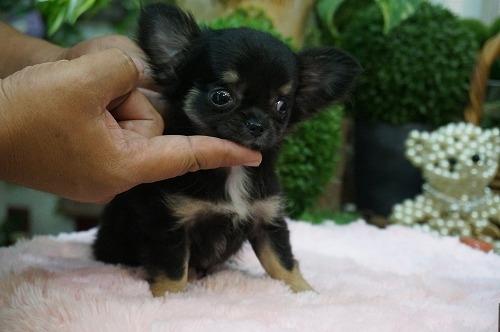 チワワ(ロング)の子犬(ID:1231011269)の2枚目の写真/更新日:2017-06-09